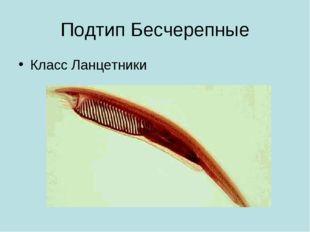 Подтип Бесчерепные Класс Ланцетники