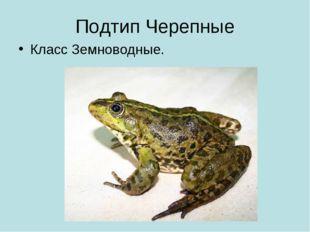 Подтип Черепные Класс Земноводные.
