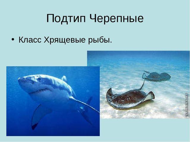 Подтип Черепные Класс Хрящевые рыбы.