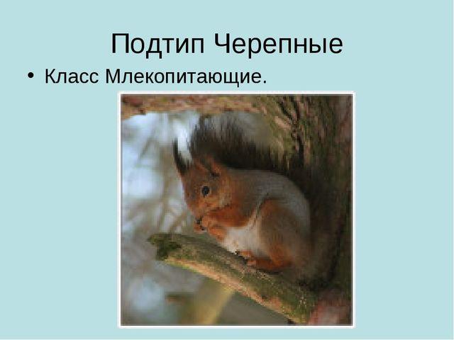 Подтип Черепные Класс Млекопитающие.