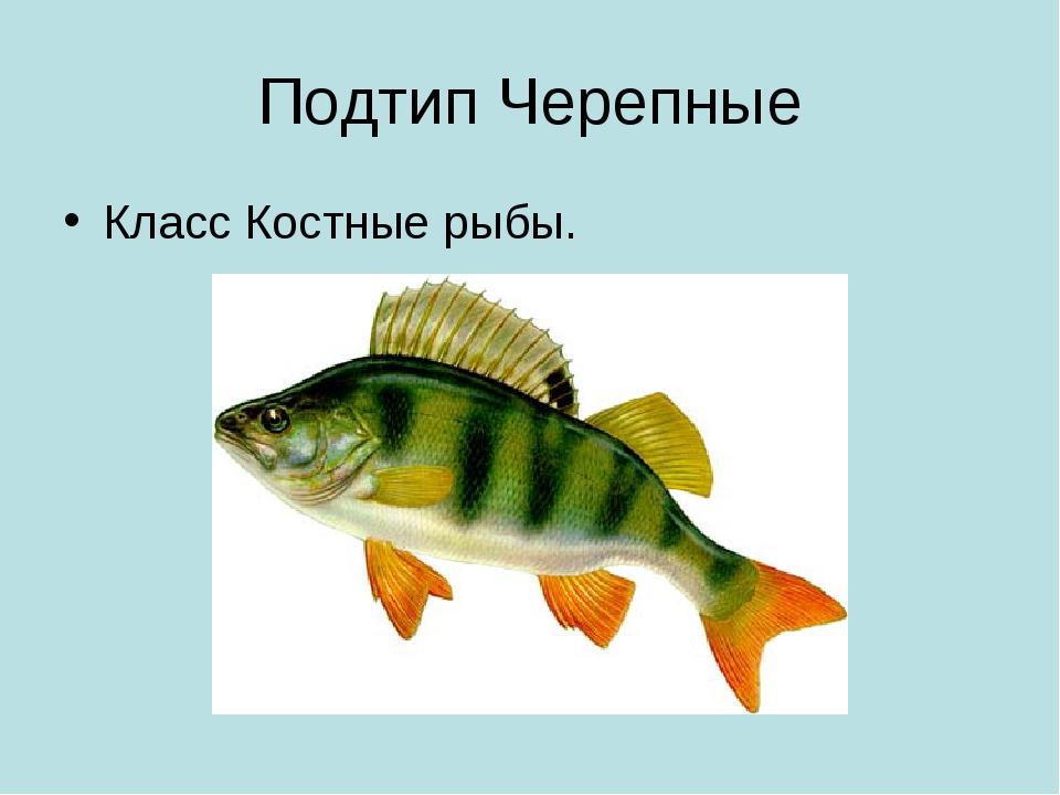 Подтип Черепные Класс Костные рыбы.
