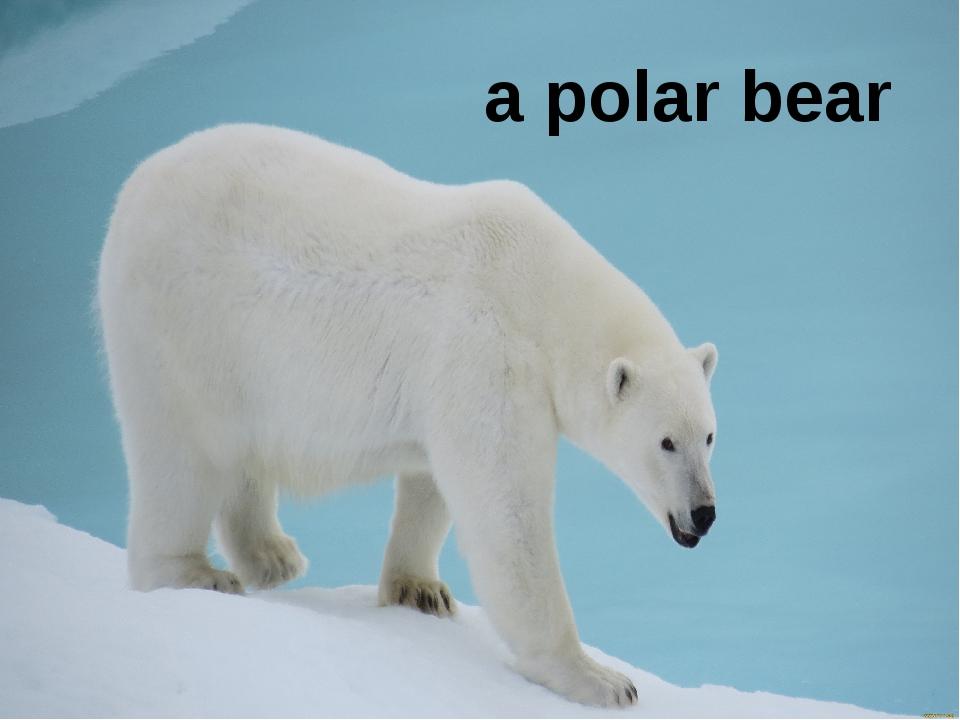 a polar bear