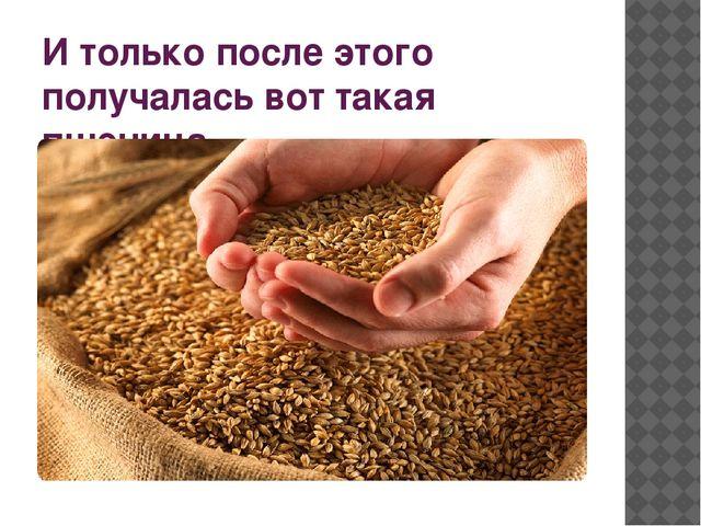 И только после этого получалась вот такая пшеница