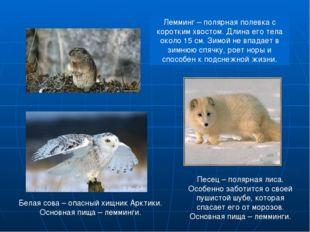 Лемминг – полярная полевка с коротким хвостом. Длина его тела около 15 см. Зи