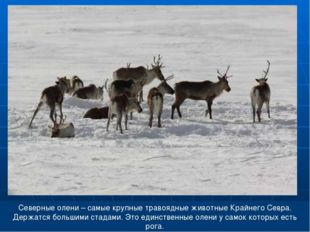 Северные олени – самые крупные травоядные животные Крайнего Севра. Держатся б