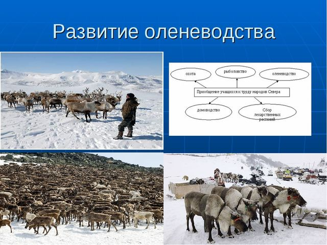 Развитие оленеводства