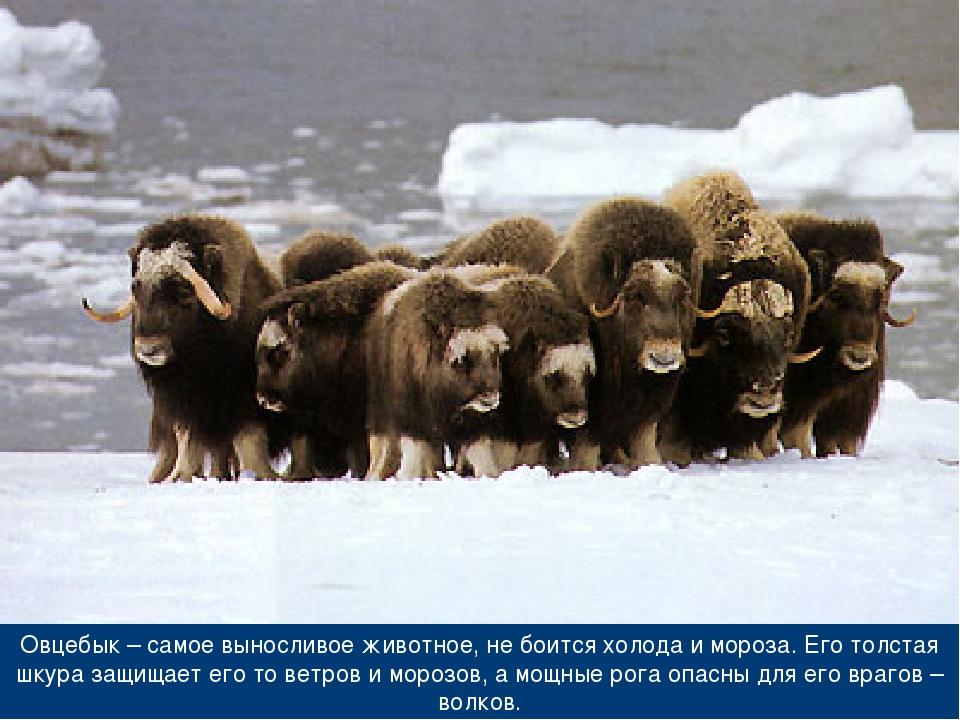 Овцебык – самое выносливое животное, не боится холода и мороза. Его толстая ш...