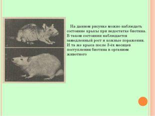 На данном рисунке можно наблюдать состояние крысы при недостатке биотина. В