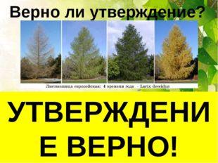 Верно ли утверждение? Лиственница – хвойное растение. Весной её веточки покры