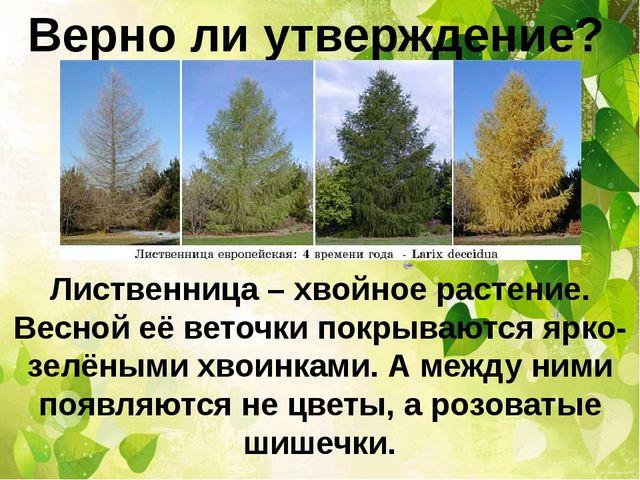 Верно ли утверждение? Лиственница – хвойное растение. Весной её веточки покры...
