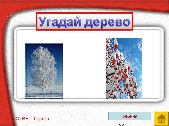 ОТВЕТ: берёза Угадай дерево рябина