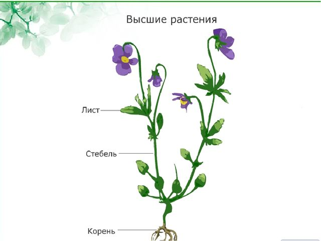 Ботаника – наука о растениях Царство Растений 1.одно- и многоклеточные орган...