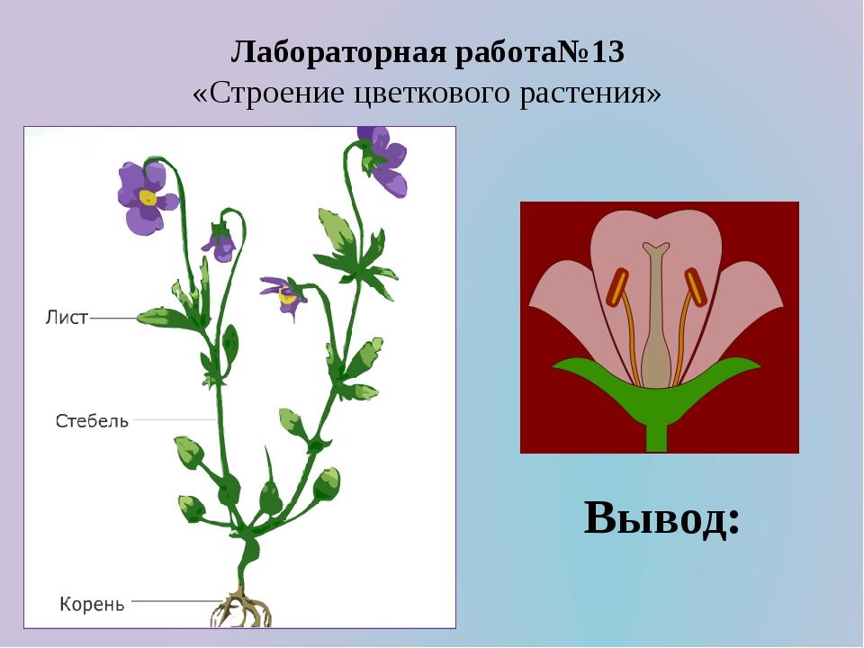 Лабораторная работа№13 «Строение цветкового растения» Вывод: