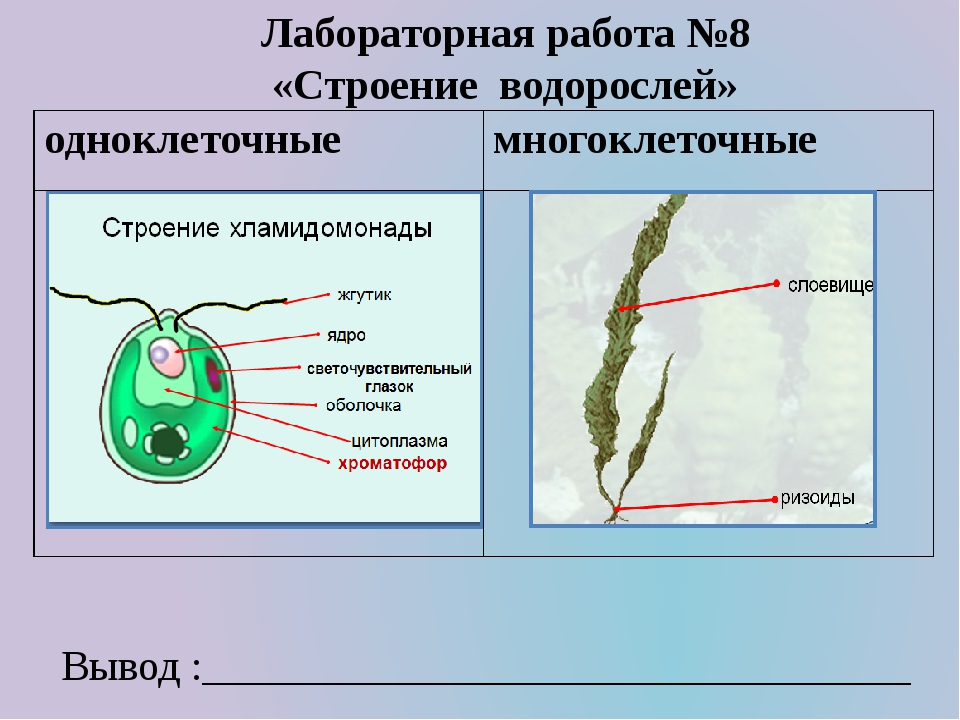 Лабораторная работа №8 «Строение водорослей» Вывод :_________________________...
