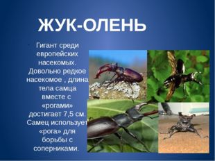 ЖУК-ОЛЕНЬ Гигант среди европейских насекомых. Довольно редкое насекомое , дли