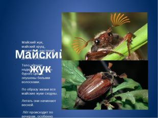 Майский жук Майский жук, майский хрущ, вредитель растений. Длина 22-29 мм. Т