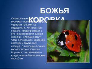 БОЖЬЯ КОРОВКА Семиточечная божья коровка – ярко-красный жук с черными точкам