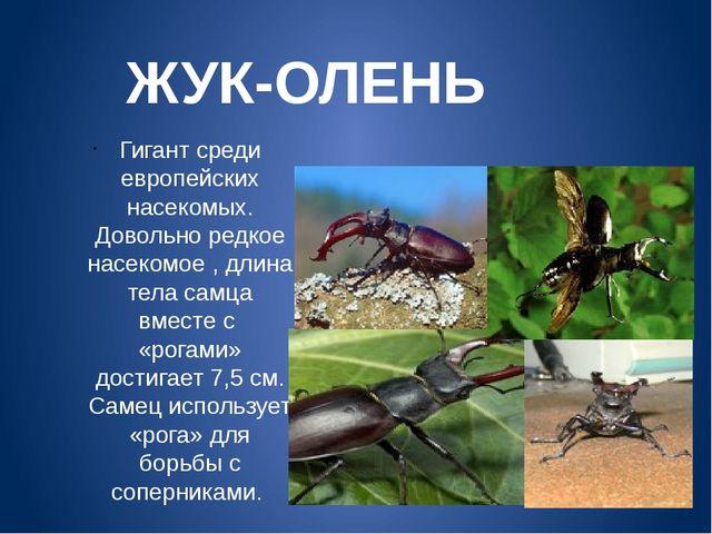 ЖУК-ОЛЕНЬ Гигант среди европейских насекомых. Довольно редкое насекомое , дли...