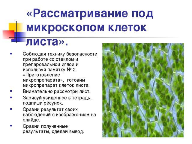 «Рассматривание под микроскопом клеток листа». Соблюдая технику безопасности...