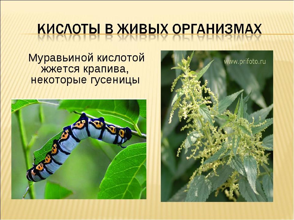 Муравьиной кислотой жжется крапива, некоторые гусеницы