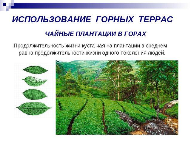 ЧАЙНЫЕ ПЛАНТАЦИИ В ГОРАХ Продолжительность жизни куста чая на плантации в сре...