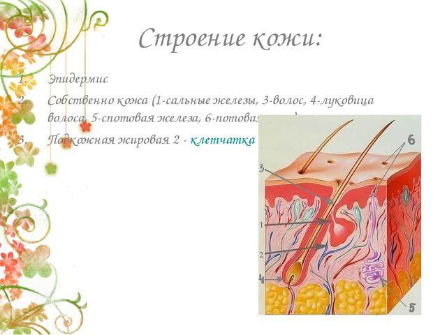 Строение кожи: Эпидермис Собственно кожа (1-сальные железы, 3-волос, 4-лукови...