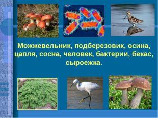 Можжевельник, подберезовик, осина, цапля, сосна, человек, бактерии, бекас, сы