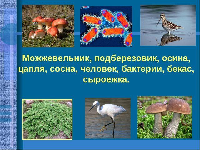 Можжевельник, подберезовик, осина, цапля, сосна, человек, бактерии, бекас, сы...