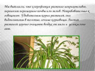 Мы выяснили, что хлорофитум растение неприхотливое, переносит пересыхание по