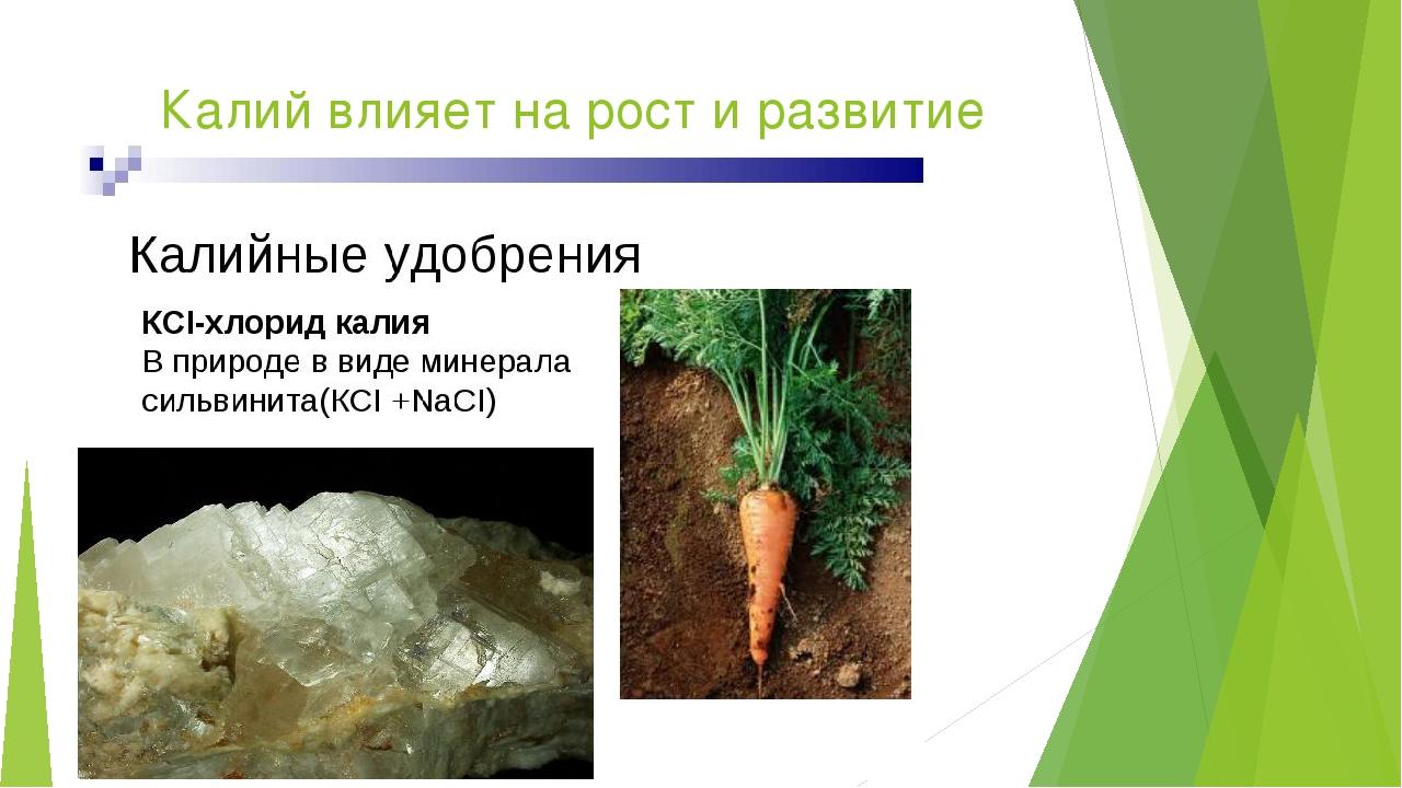 Калий влияет на рост и развитие корня