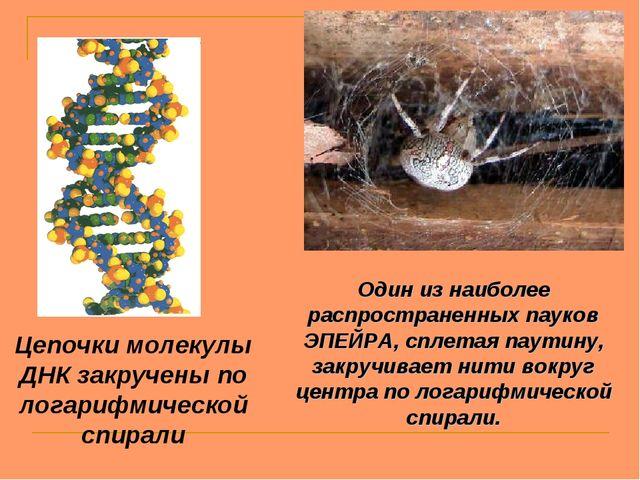 Один из наиболее распространенных пауков ЭПЕЙРА, сплетая паутину, закручивает...
