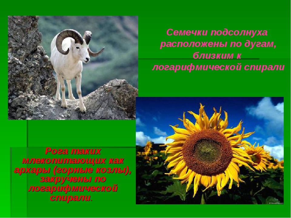 Рога таких млекопитающих как архары (горные козлы), закручены по логарифмичес...