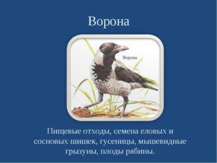 Ворона Пищевые отходы, семена еловых и сосновых шишек, гусеницы, мышевидные г
