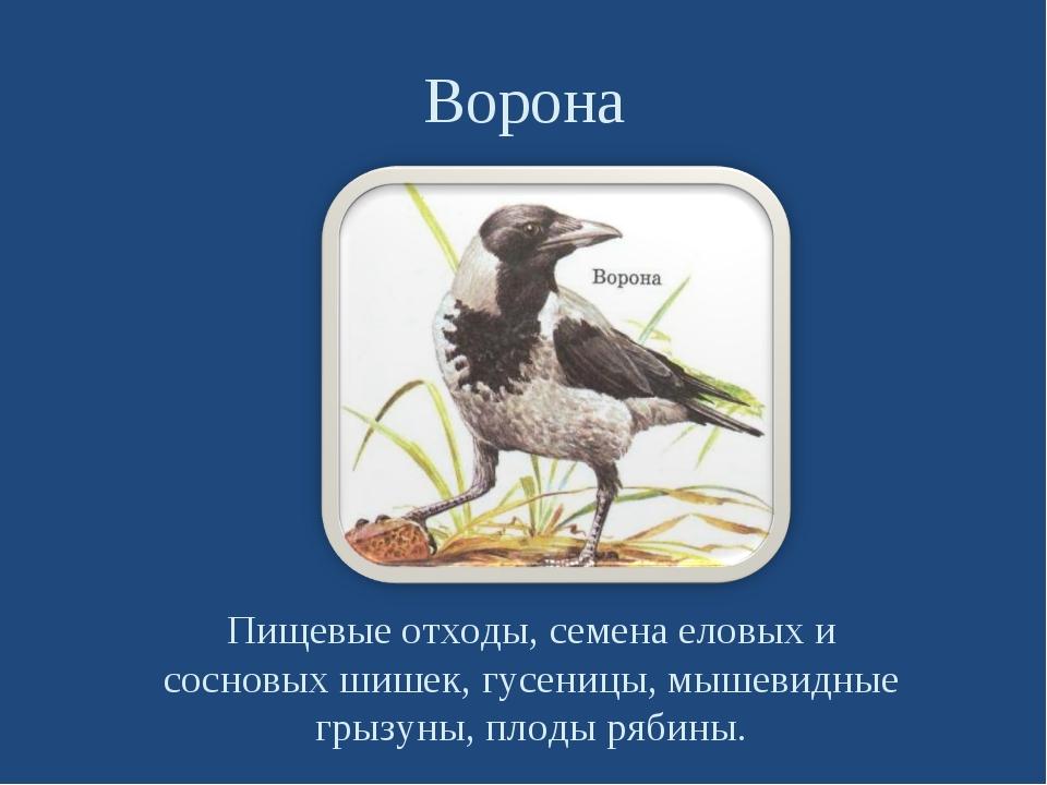 Ворона Пищевые отходы, семена еловых и сосновых шишек, гусеницы, мышевидные г...