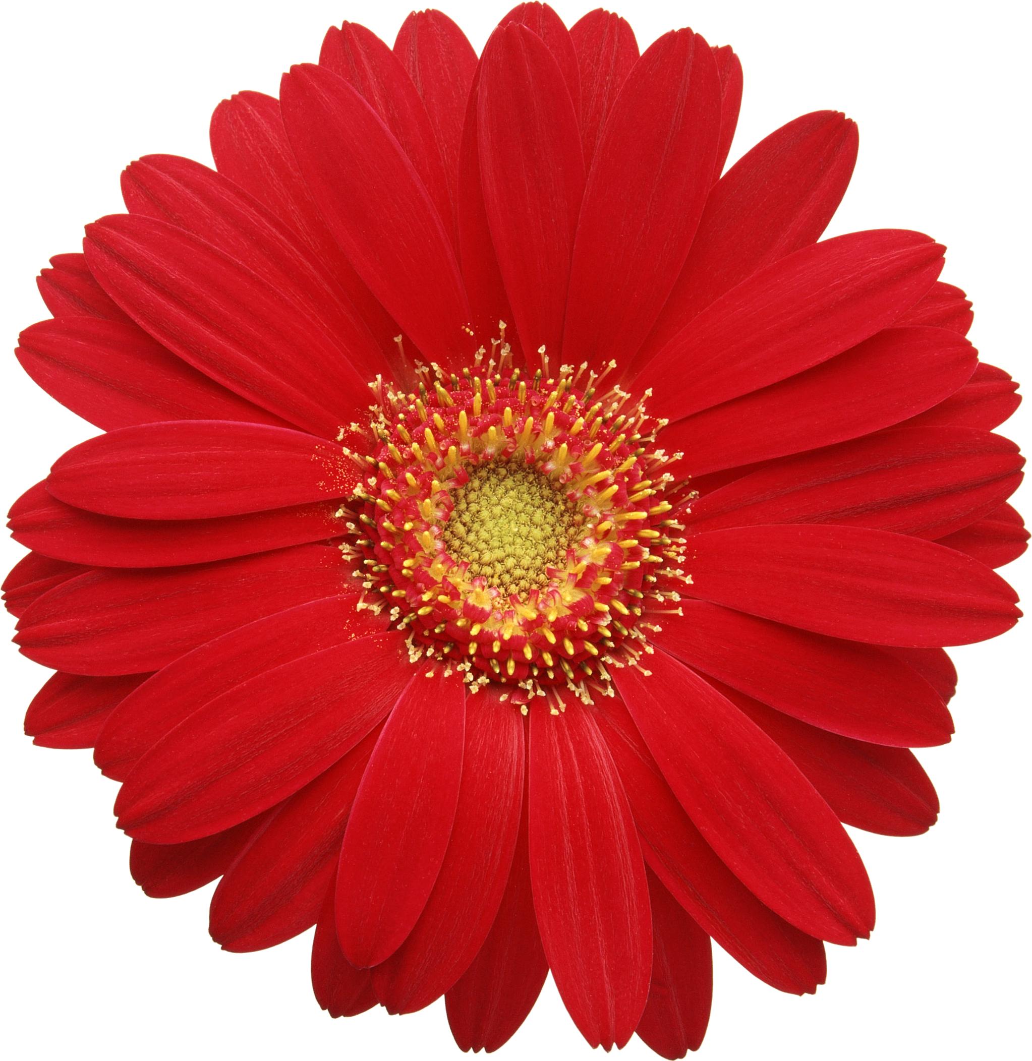 соломка синамей картинки одиночных цветов для оформления думал проблема жёстком