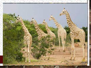 В нигерийских лесах сохранилось мало крупных млекопитающих: слонов, жирафов,