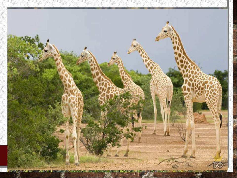 В нигерийских лесах сохранилось мало крупных млекопитающих: слонов, жирафов,...