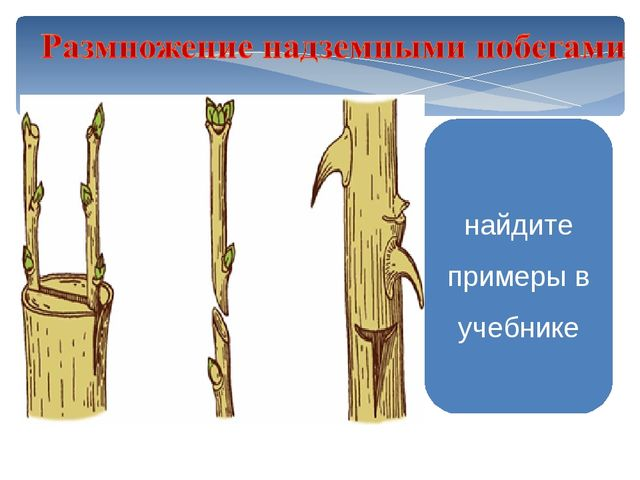 Прививка черенком Прививка почкой Слива Персик Вишня Абрикос Яблоня найдите п...