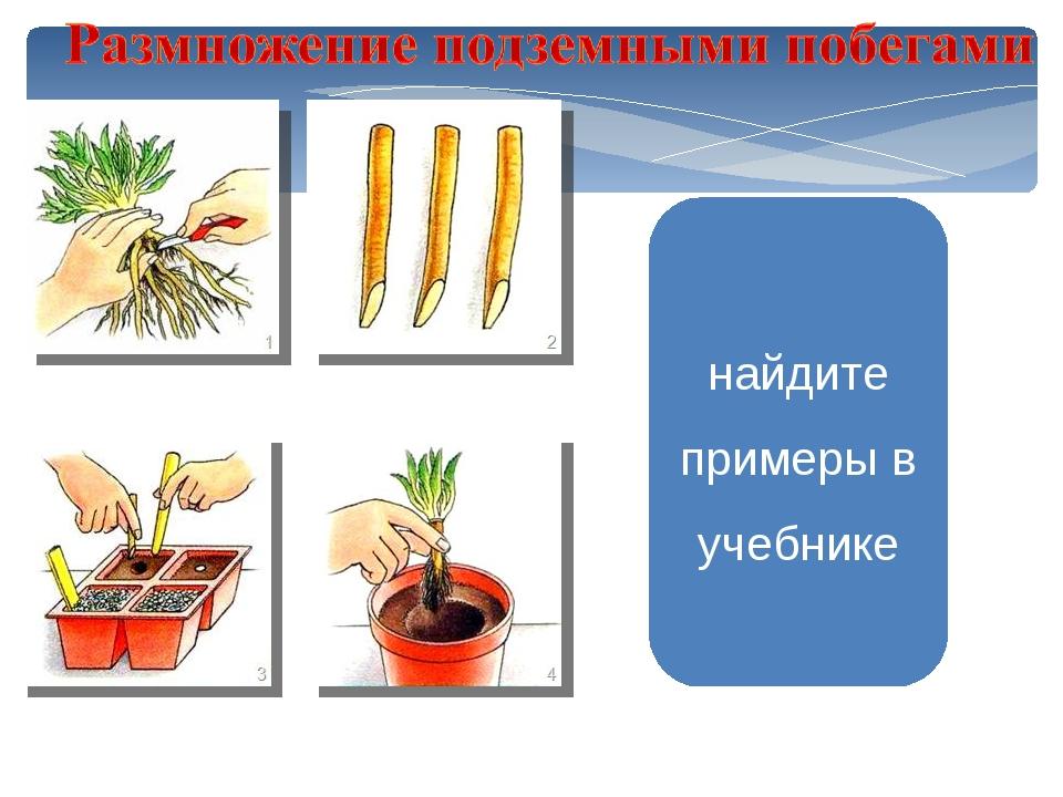 найдите примеры в учебнике Размножение корневыми Нарезать кусочками черенками...