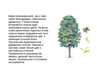 Клен (обыкновенный), как и граб, имеет безъядровую, заболонную древесину. У к