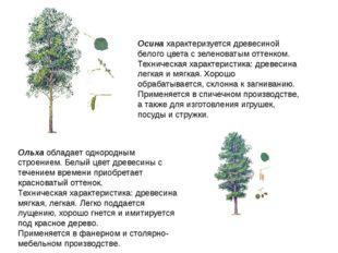 Осина характеризуется древесиной белого цвета с зеленоватым оттенком. Техниче