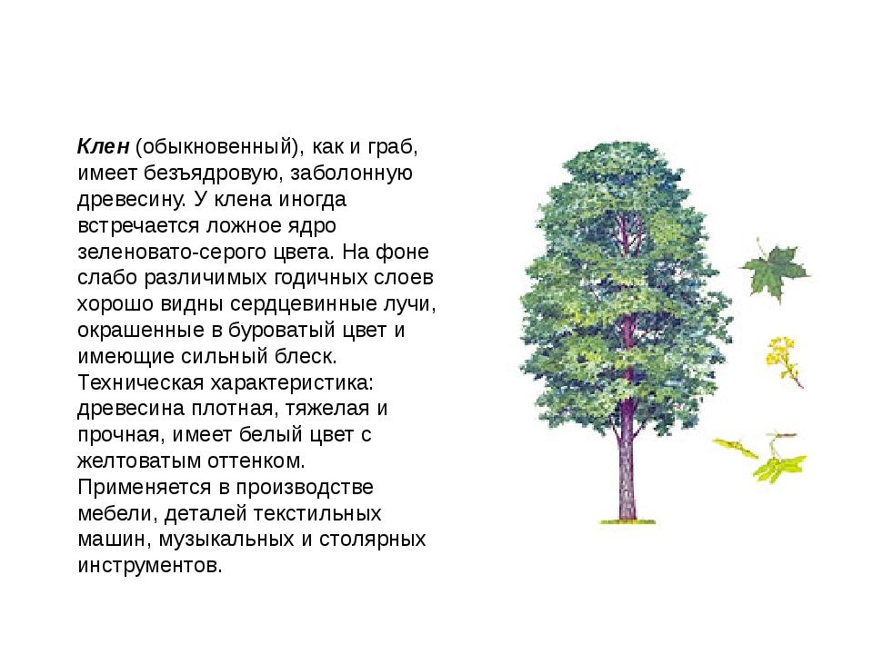 Клен (обыкновенный), как и граб, имеет безъядровую, заболонную древесину. У к...