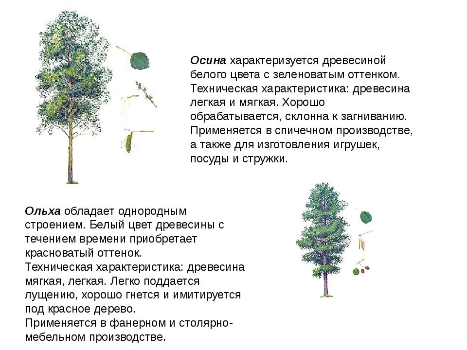 Осина характеризуется древесиной белого цвета с зеленоватым оттенком. Техниче...