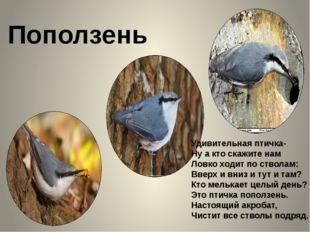 Поползень Удивительная птичка- Ну а кто скажите нам Ловко ходит по стволам: