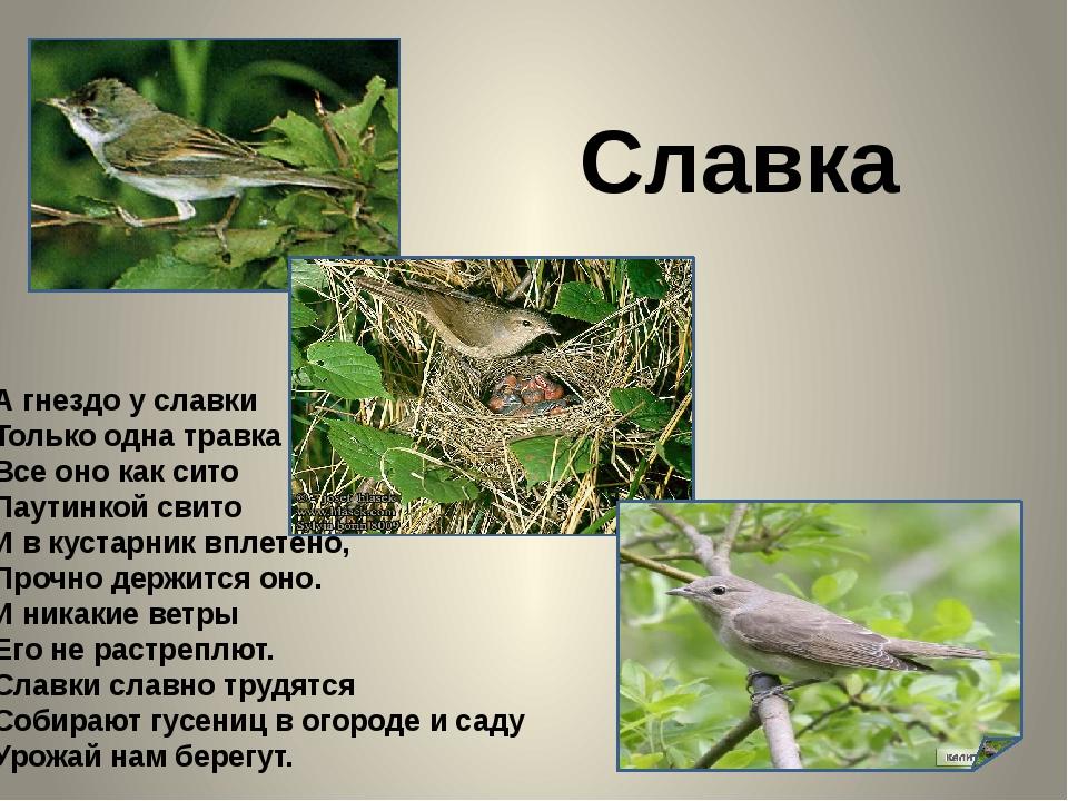 Славка А гнездо у славки Только одна травка Все оно как сито Паутинкой свито...