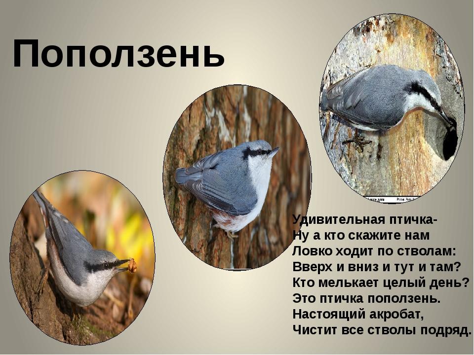 Поползень Удивительная птичка- Ну а кто скажите нам Ловко ходит по стволам:...