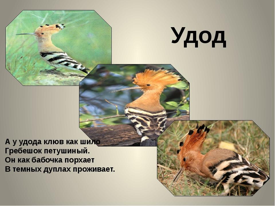Удод А у удода клюв как шило Гребешок петушиный. Он как бабочка порхает В те...
