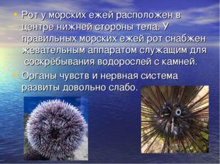 Рот у морских ежей расположен в центре нижней стороны тела. У правильных морс