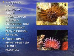 У морских ежей отдельных видов наблюдается забота о потомстве: они вынашивают