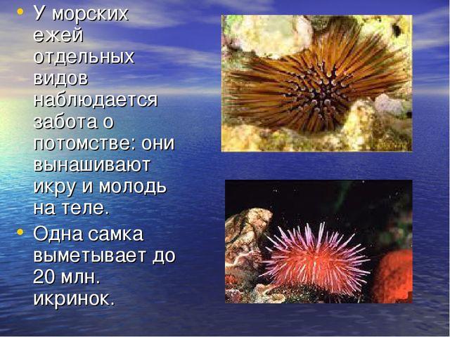 У морских ежей отдельных видов наблюдается забота о потомстве: они вынашивают...